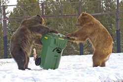 The ursine trash olympics