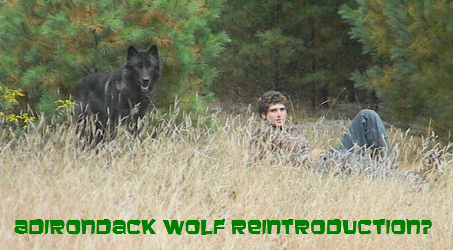 Should wolves be reintroduced to the Adirondacks?