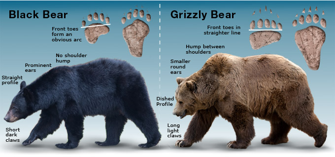 Black Bear - Grizzly comparison