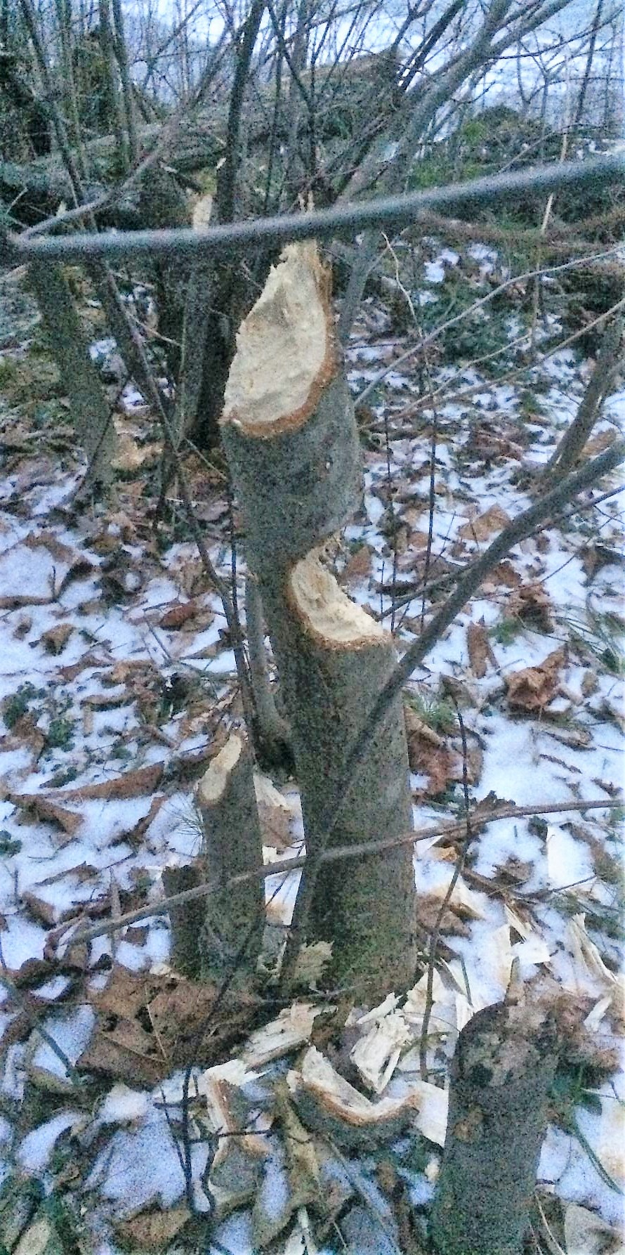 Beaver Damaged Trees at the Adirondack Wildlife Refuge