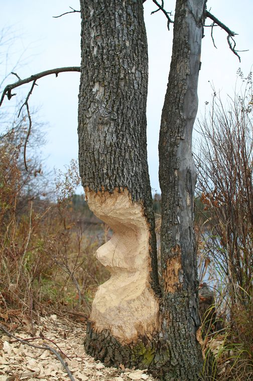 Beaver Damaged Trees in Boundary Waters Area