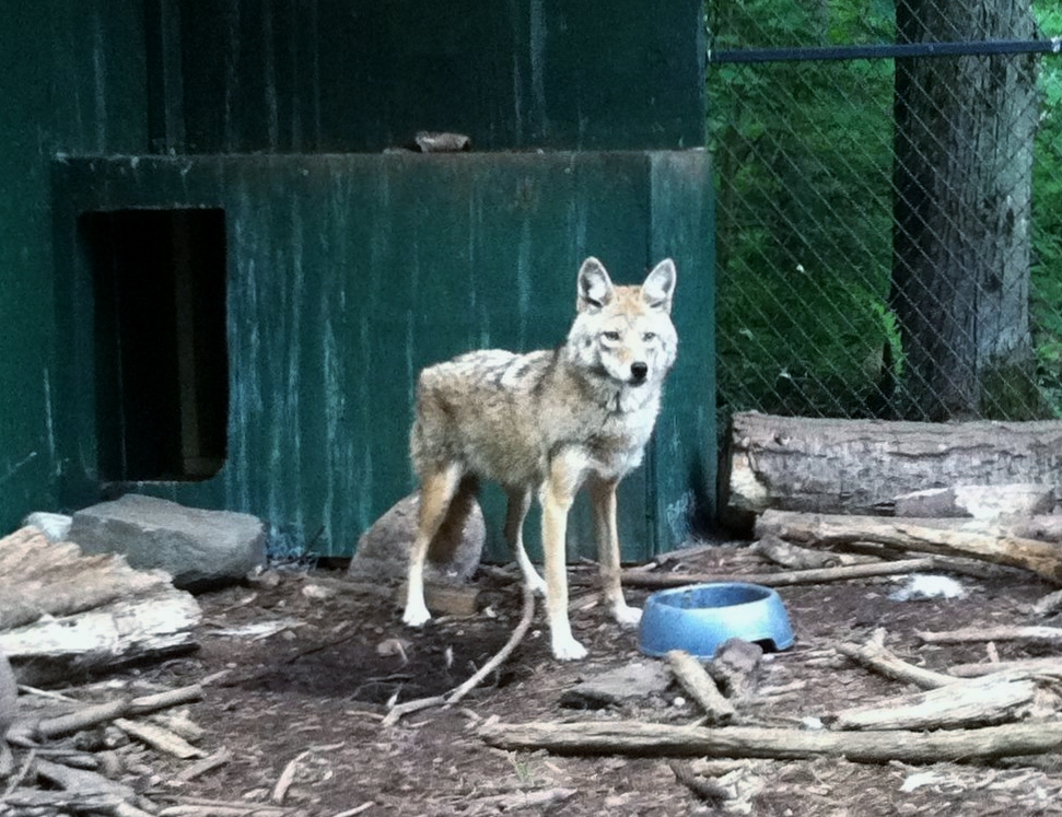 wolves in the adirondack mountains Studies have shown that suitable habitat and sufficient prey exist for wolves northern maine, northern new hampshire, vermont and adirondack park in upstate new york this research suggests that the northeast could support at least 1,200 wolves and perhaps as many as 1,800 wolf recovery could take place in one of.