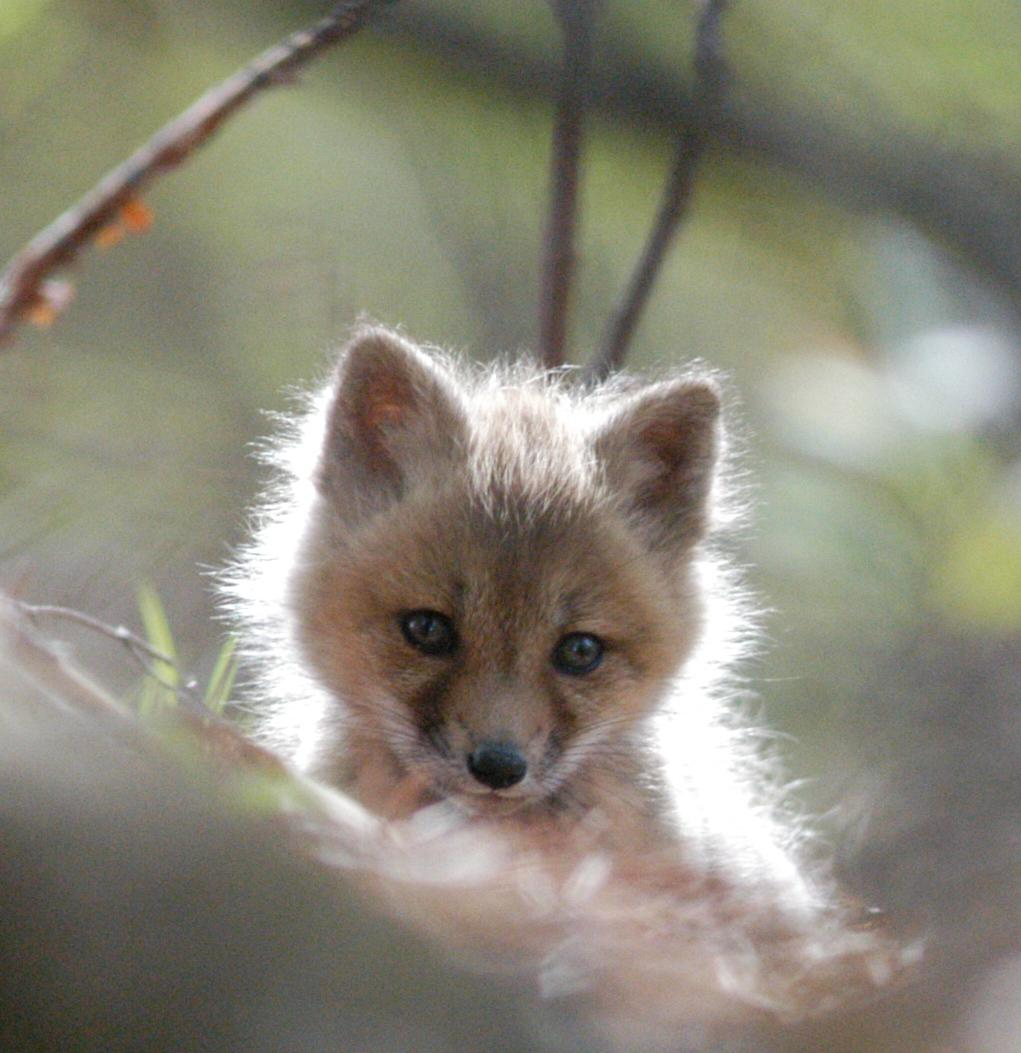 Fox kit by Bob Hockert
