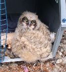 A Great Horned Owl Chick, kicked out of the Nest