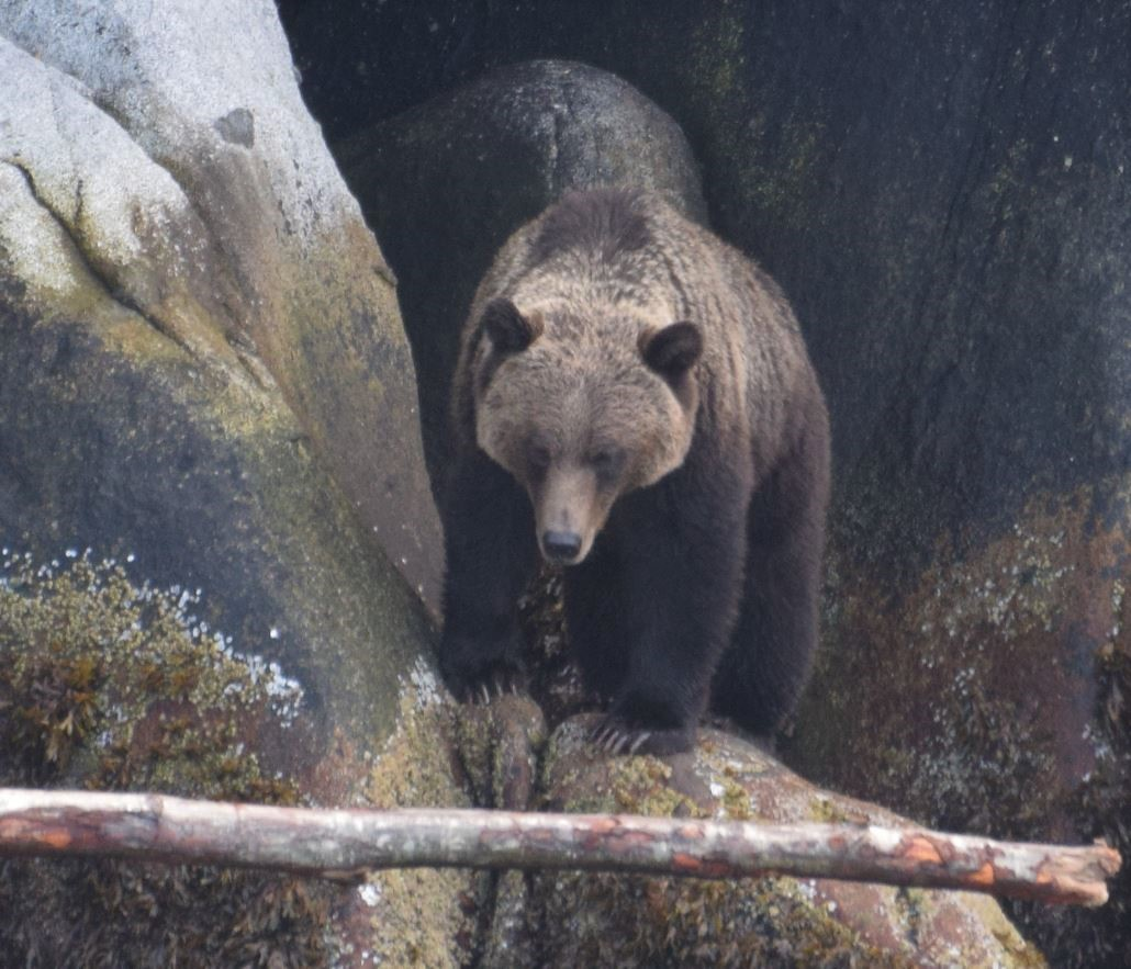Grizzly, Great Bear Rain Forest, Sept 2019, by Steve Hall