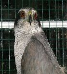 Athena the Goshawk by Deb McKenzie