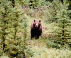 Grizzly - Banff National Park, 1990, Dan Hall