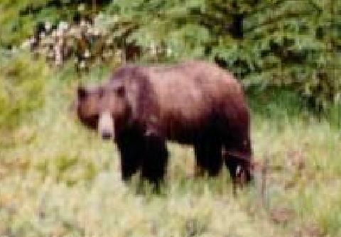 Banff nat Park grizzly, 1990, Dan Hall