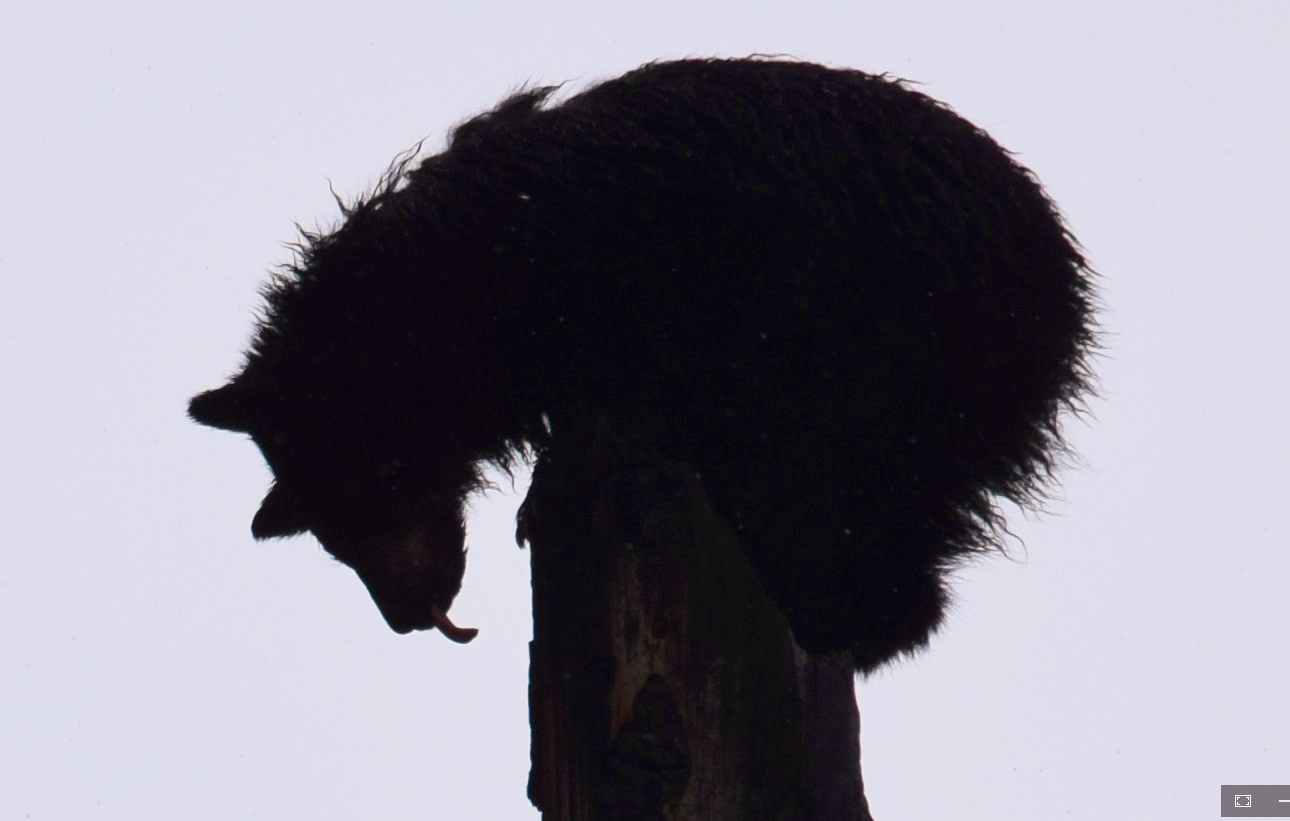 Treed black bear cub