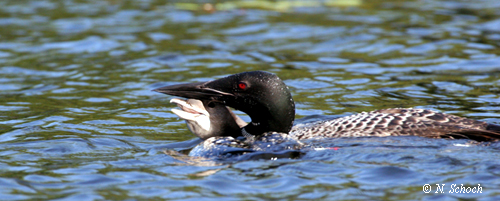 Loon Conservation Event 072107