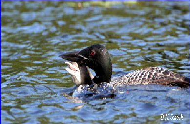 Common Loon & chick by Nina Schoch