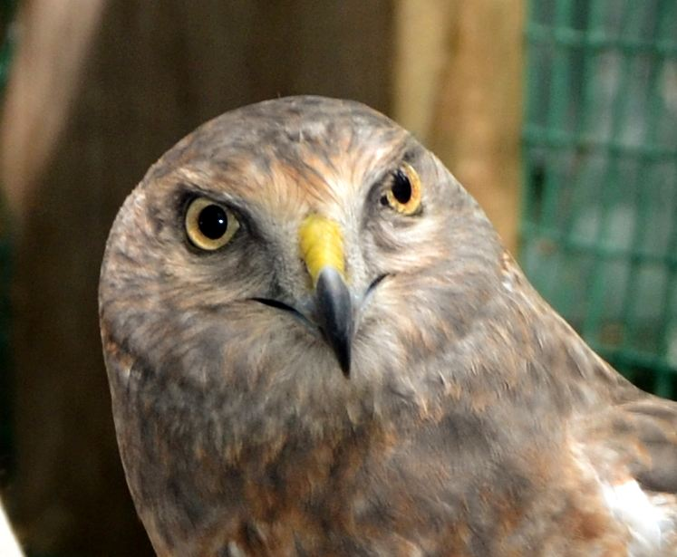 Northern harrier, in rehab