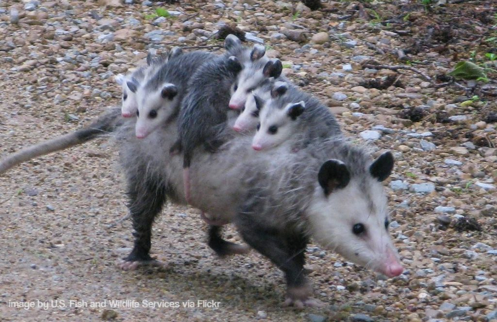Possum and Brood