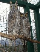 Utah & Artemis, Great Horned Owls
