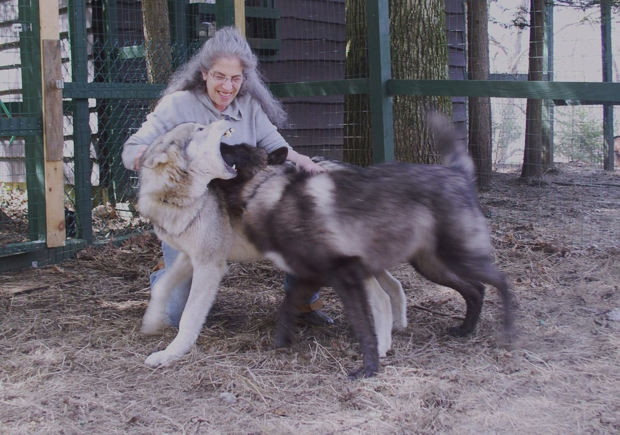 Pics For > Timber Wolf Size Comparison To Human