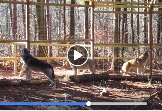 Wolves Howling Habitat Awareness Day 2016