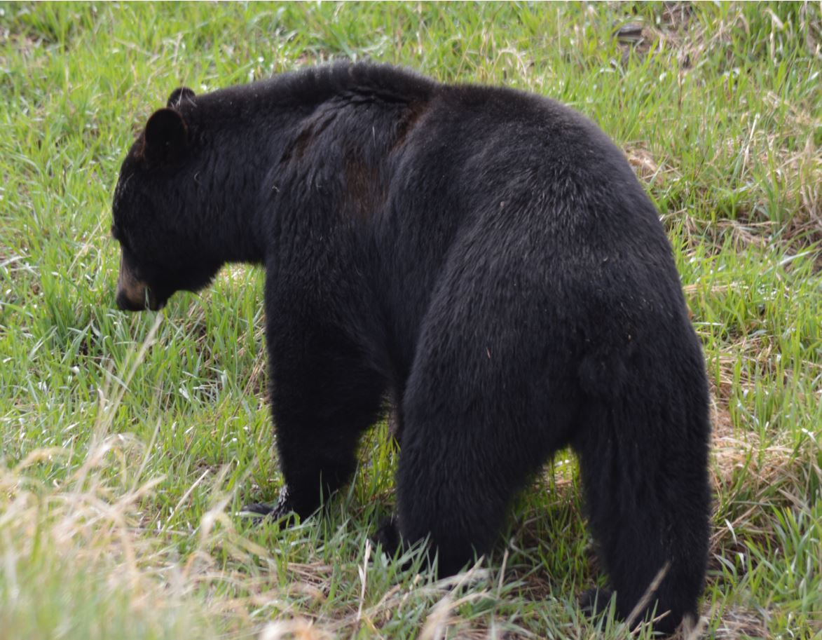 Black Bear in Yellowstone, May 2013