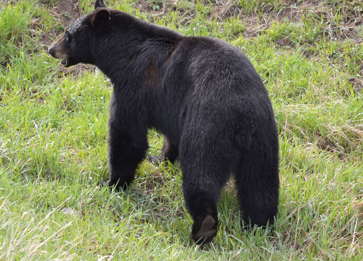 Yellowstone Black Bear, by Alex, Yellowstone