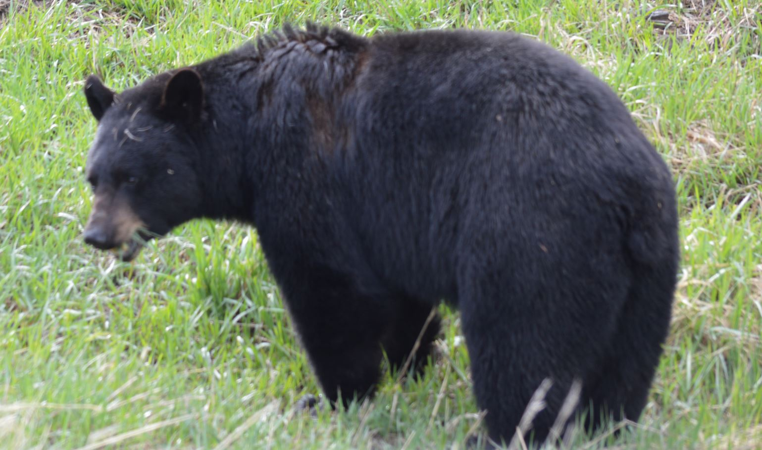 Yellowstone black bear, May 2013, Alex