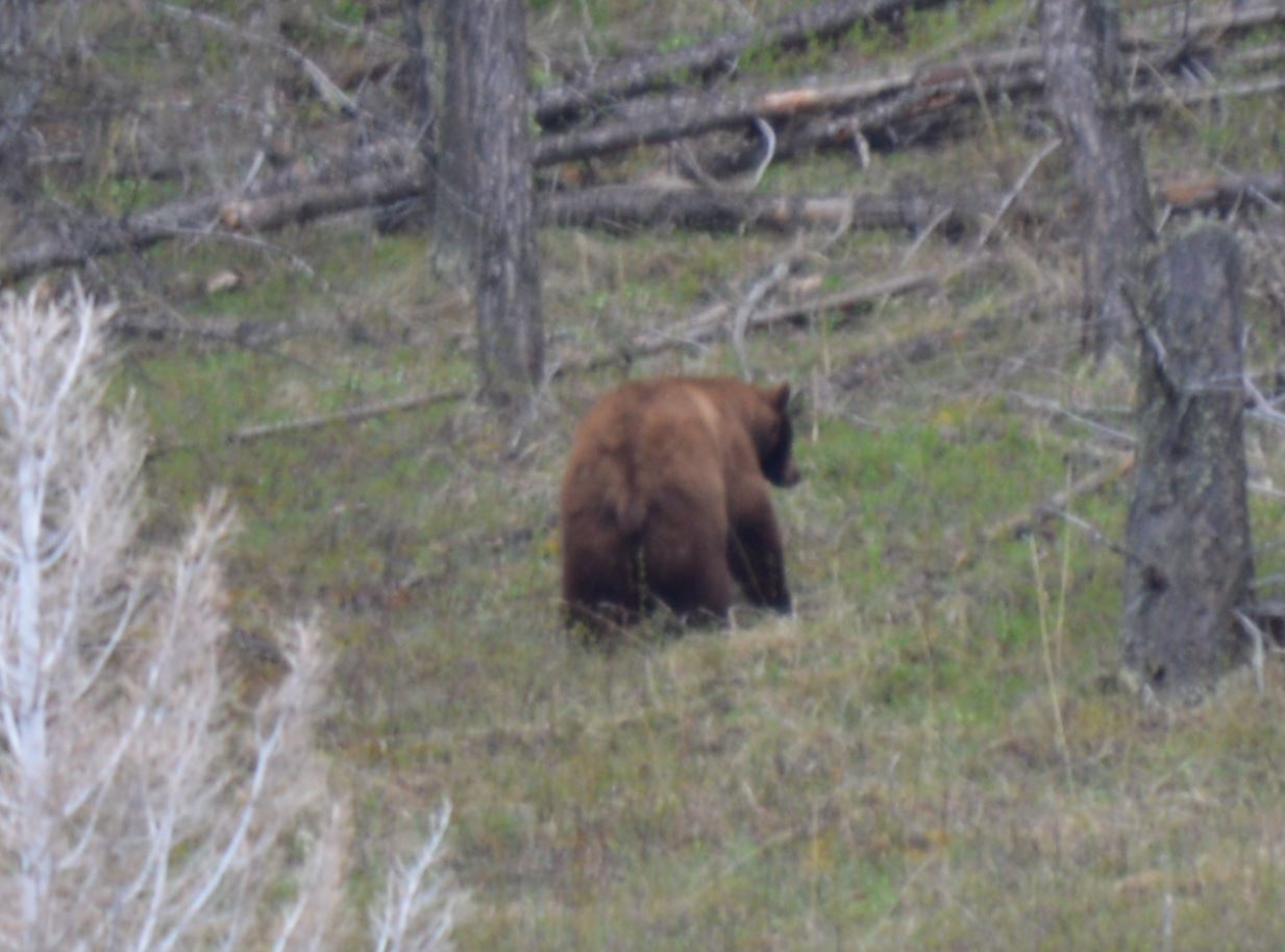 Grizzly, Yellowstone, May 2013, Alex