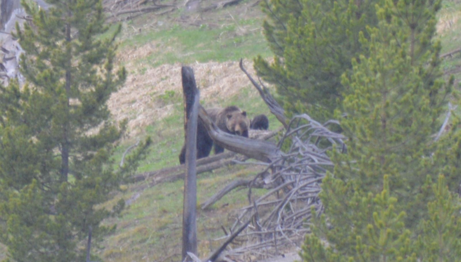 Mama grizz with cubs, Yellowstone, May 2013