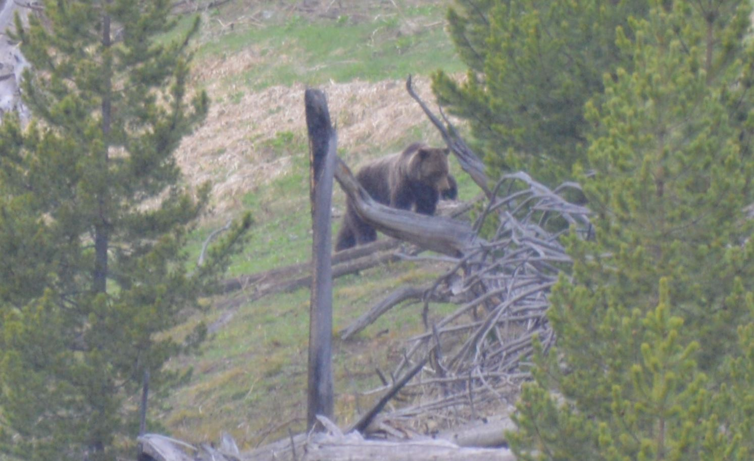 Mama Grizz, with cub, Yellowstone, May 2013