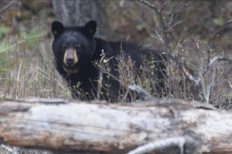 Yellowstone black bear with collar May 2018