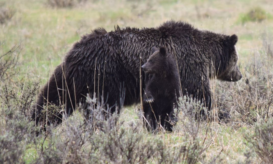 yellowstone grizz sow with cubs by Steve Hall