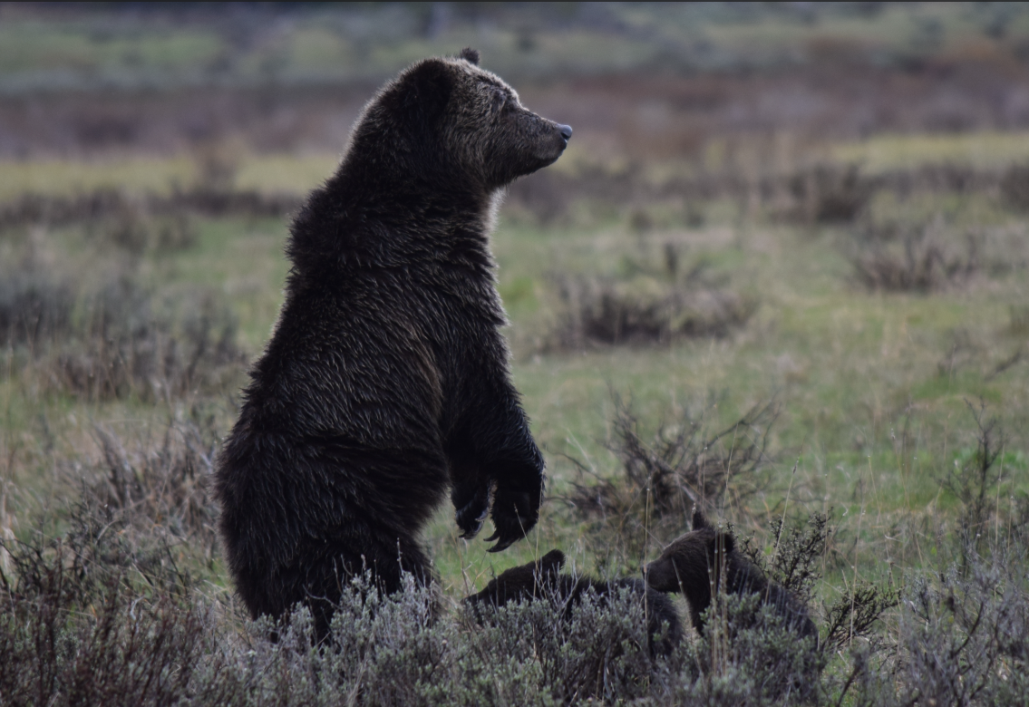 Yellowstone Grizzly by Steve