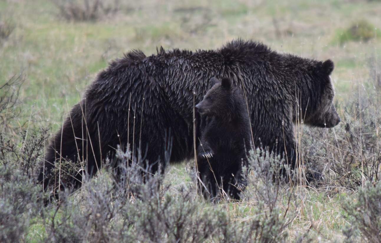 Mama Grizz Yellowstone with 2 cubs, May 2016, by Steve