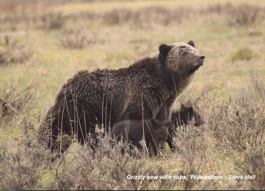 Mama Grizz Yellowstone May 2016