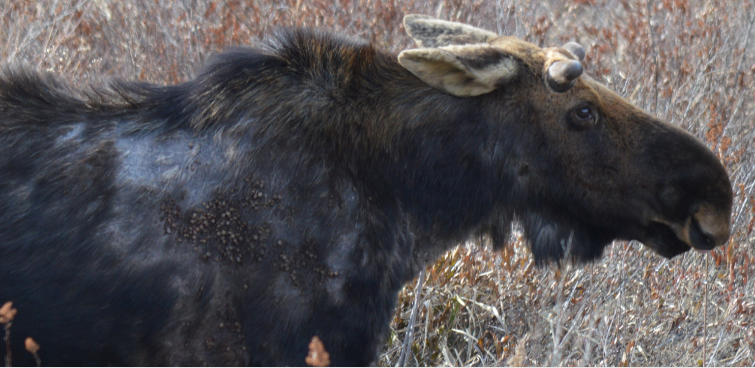 Bull Moose with tick infestation- April 2014