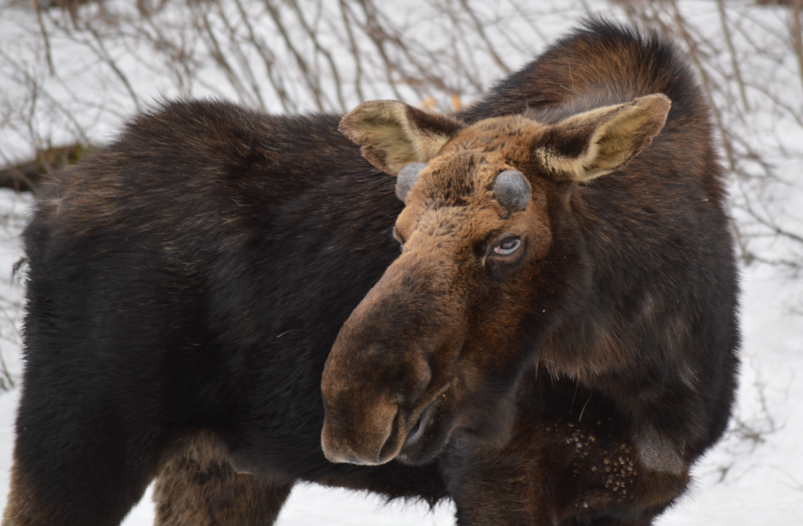 Bull Moose with winter tick infestation- 2014