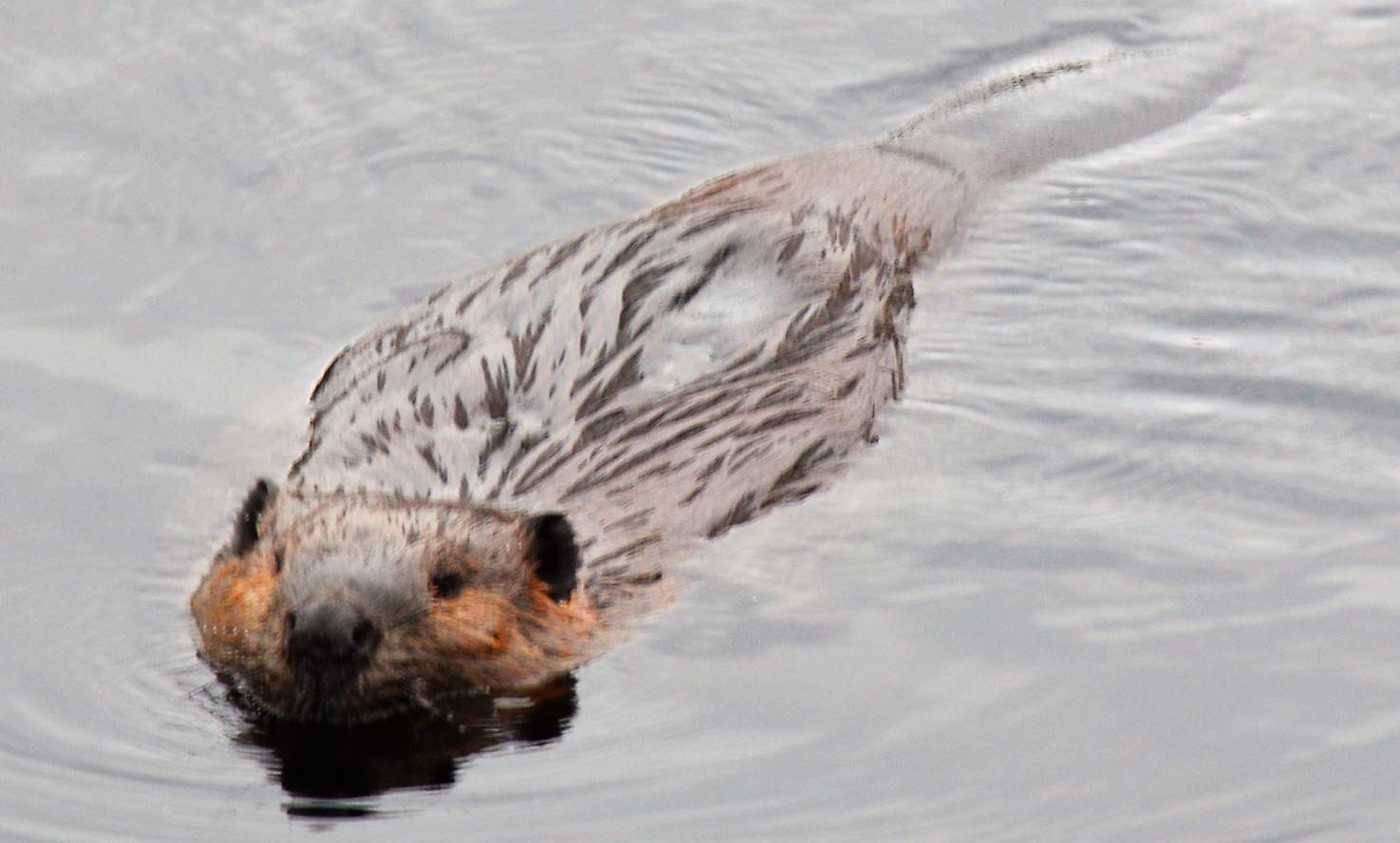 Beaver in Algonquin Provincial Park, November 2014, by Steve Hall