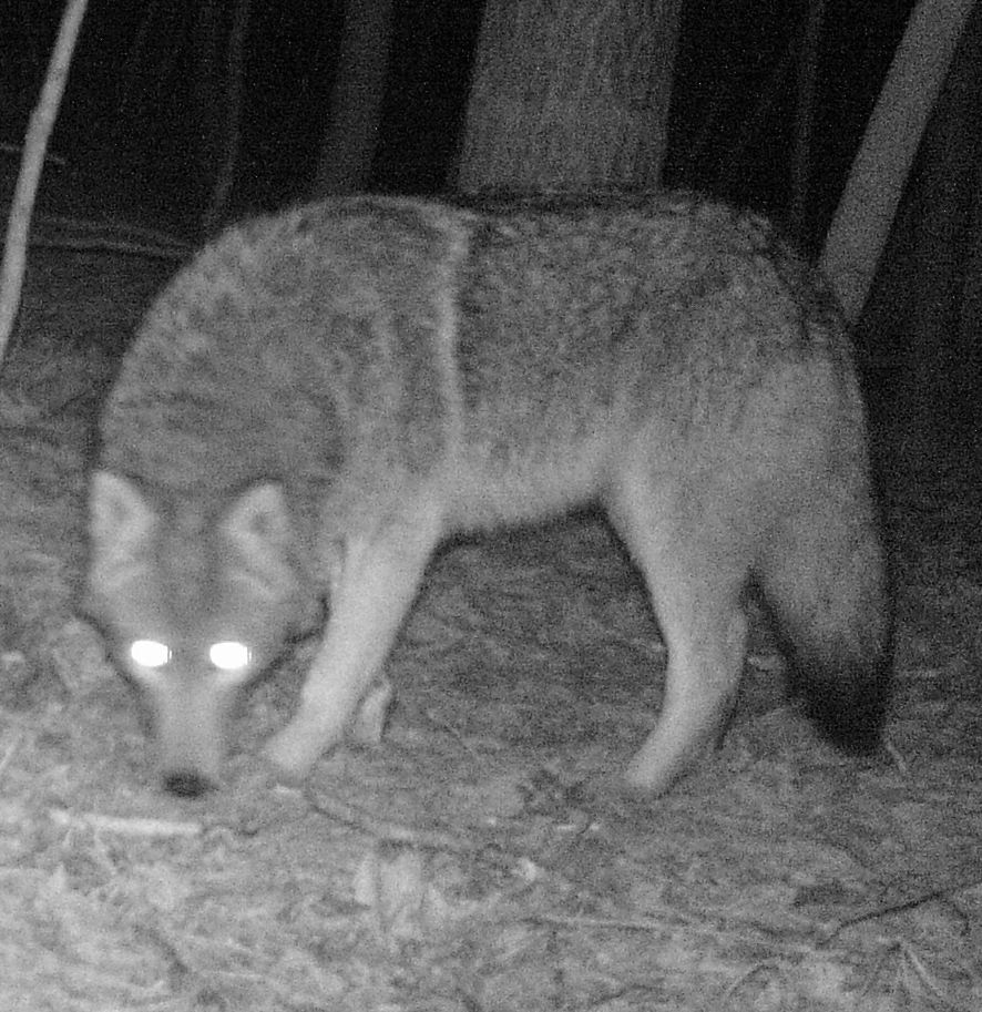 Adirondack coywolf on night cam atf the Refuge