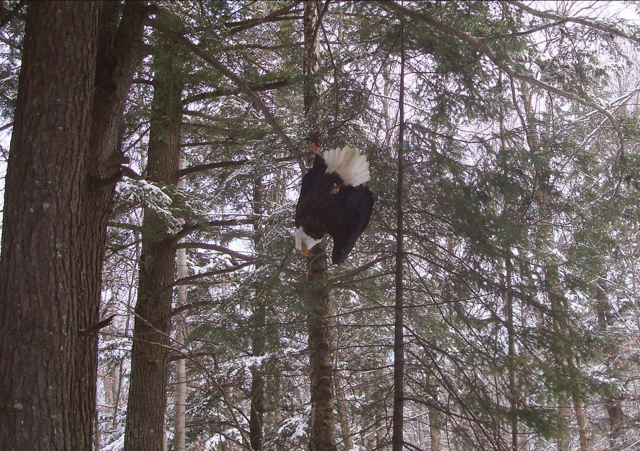 eagle suspended from trap chain
