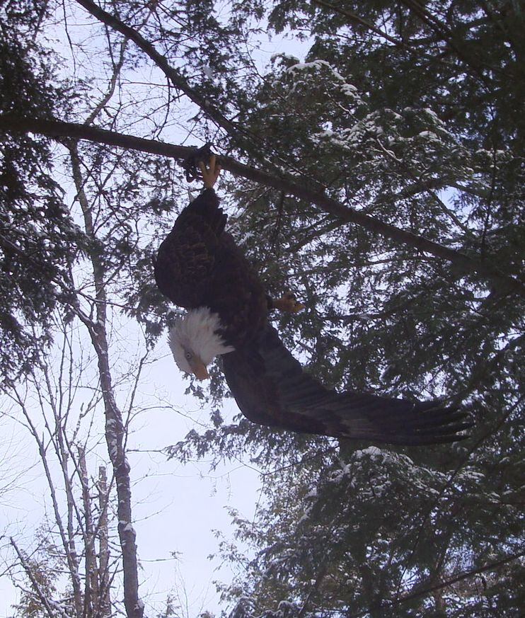 Bald eagle suspended from leghold trap