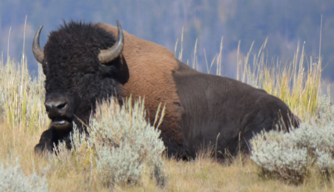 Yellowstone bison by Steve Hall