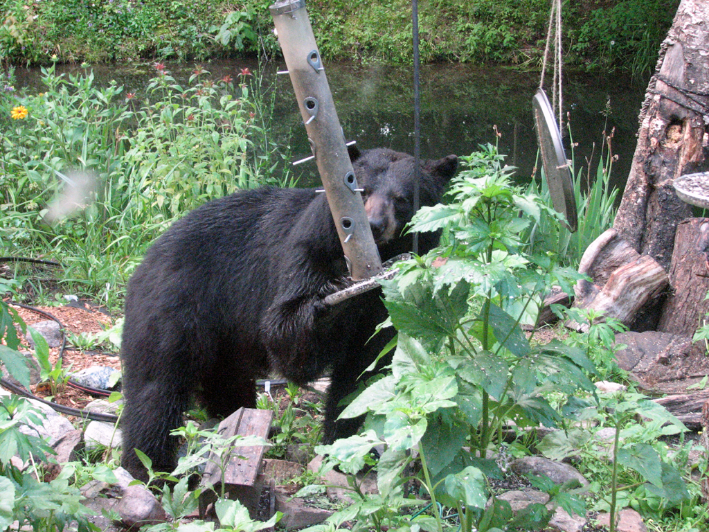 black bear July 2010