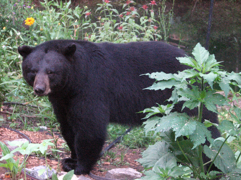 Black Bear by Deb McKenzie