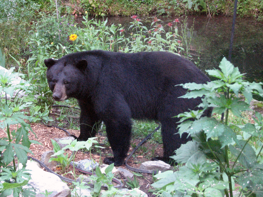 McKenzie black bear
