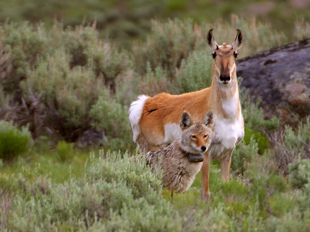 Radio Collared Coyote with Pronghorn