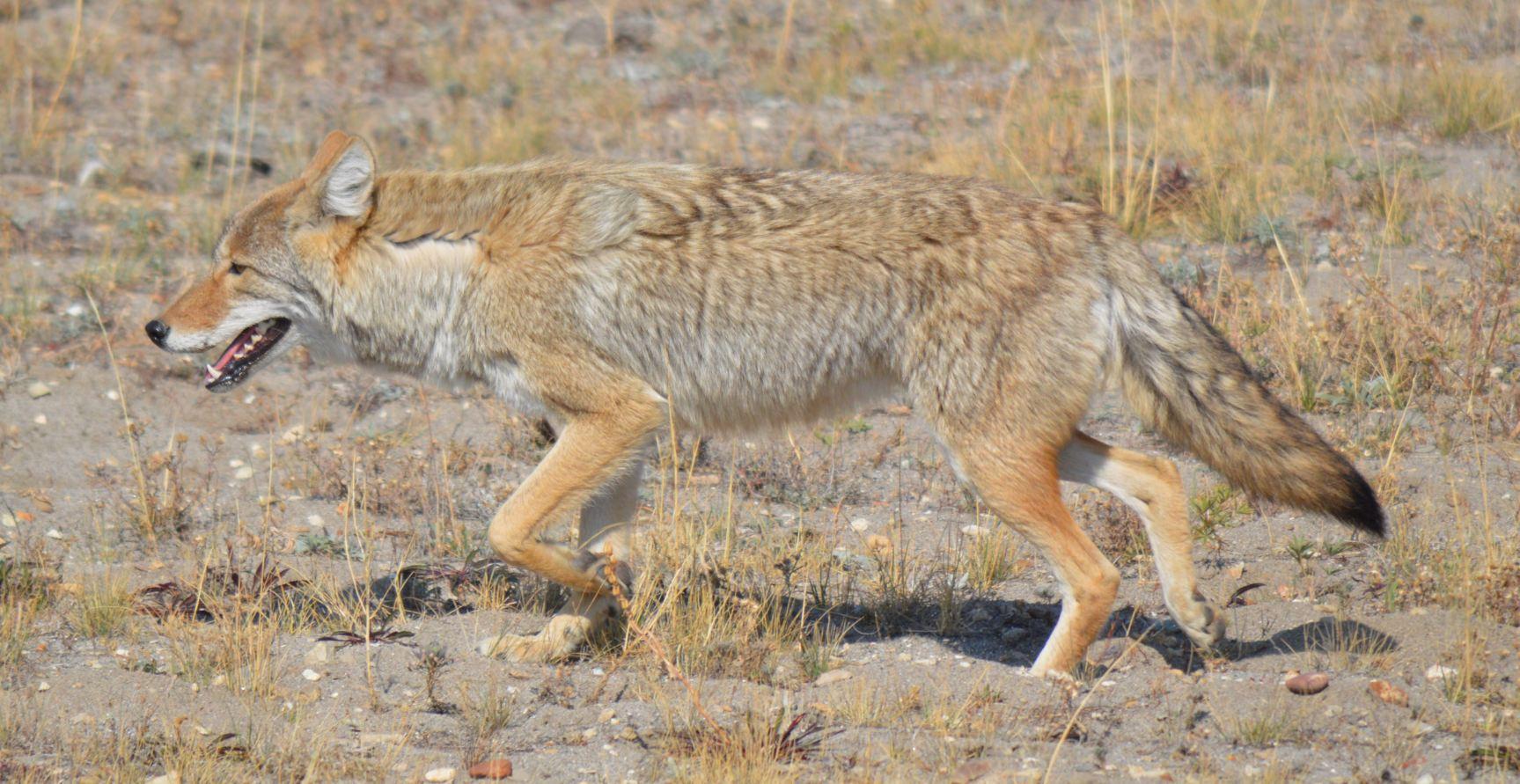 Boss Vs Coyote | Autos...
