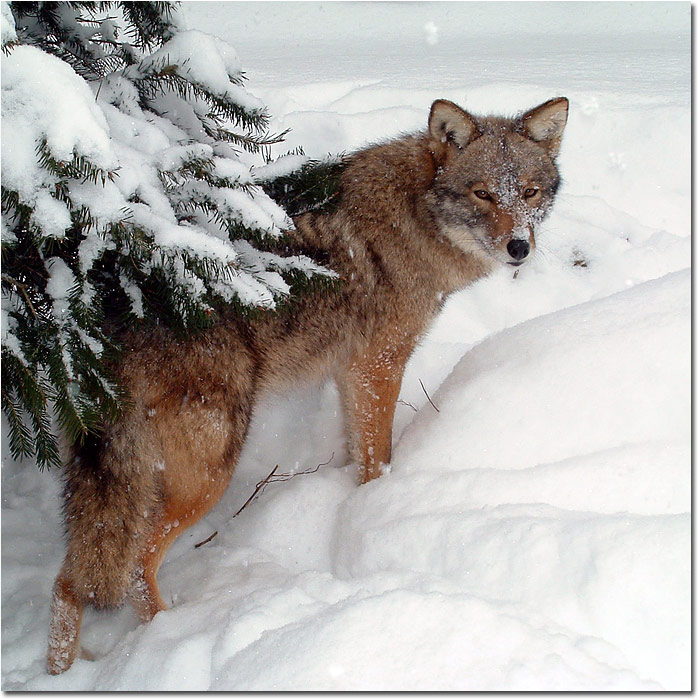 Eastern coyote, or Coywolf
