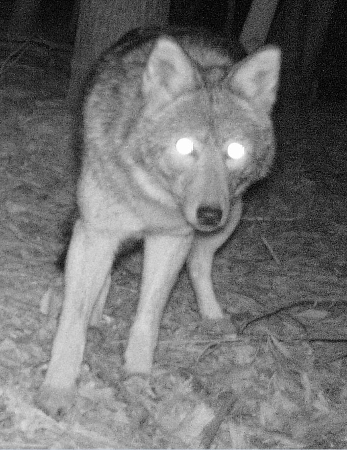 Coywolf at Refuge trail cam Feb 21, 2012