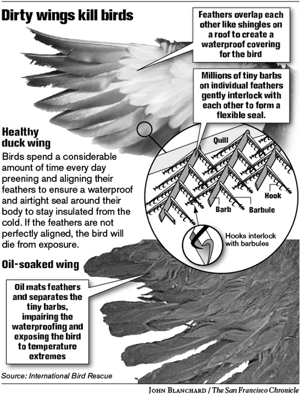 Feather structure & how oil affects feathers