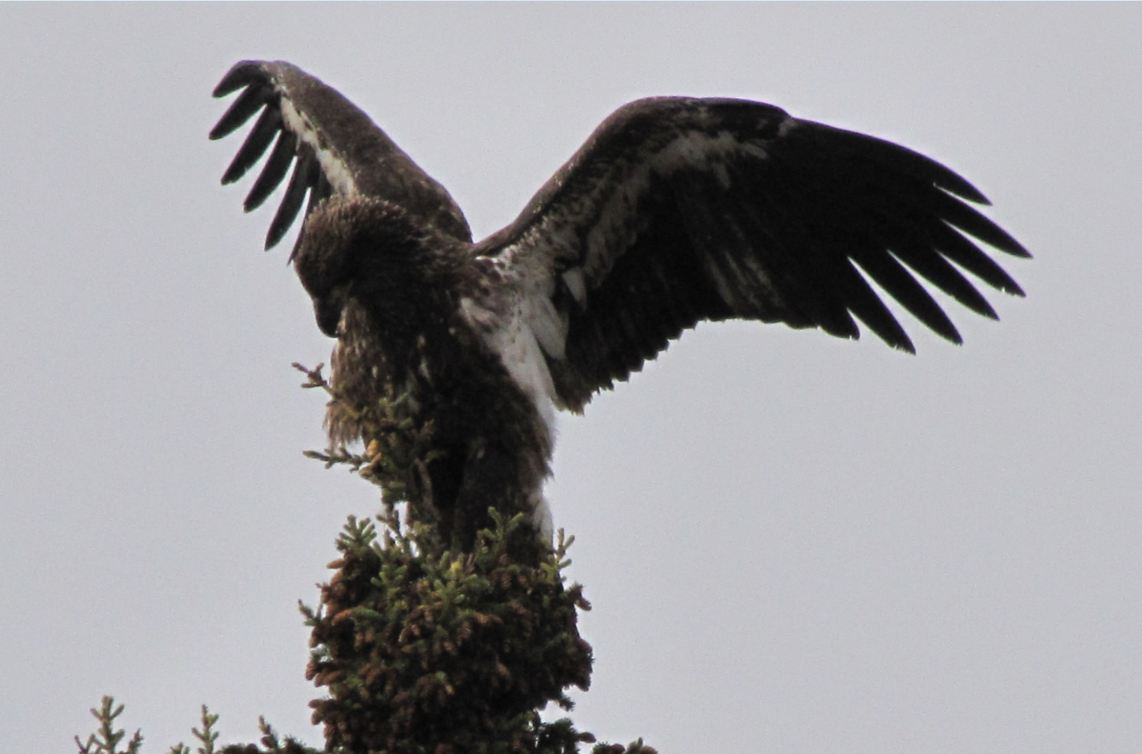 Immature bald eagle visiting Refuge