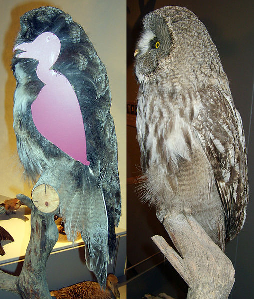 Great Gray Owl Body Contour and Actual Plumage