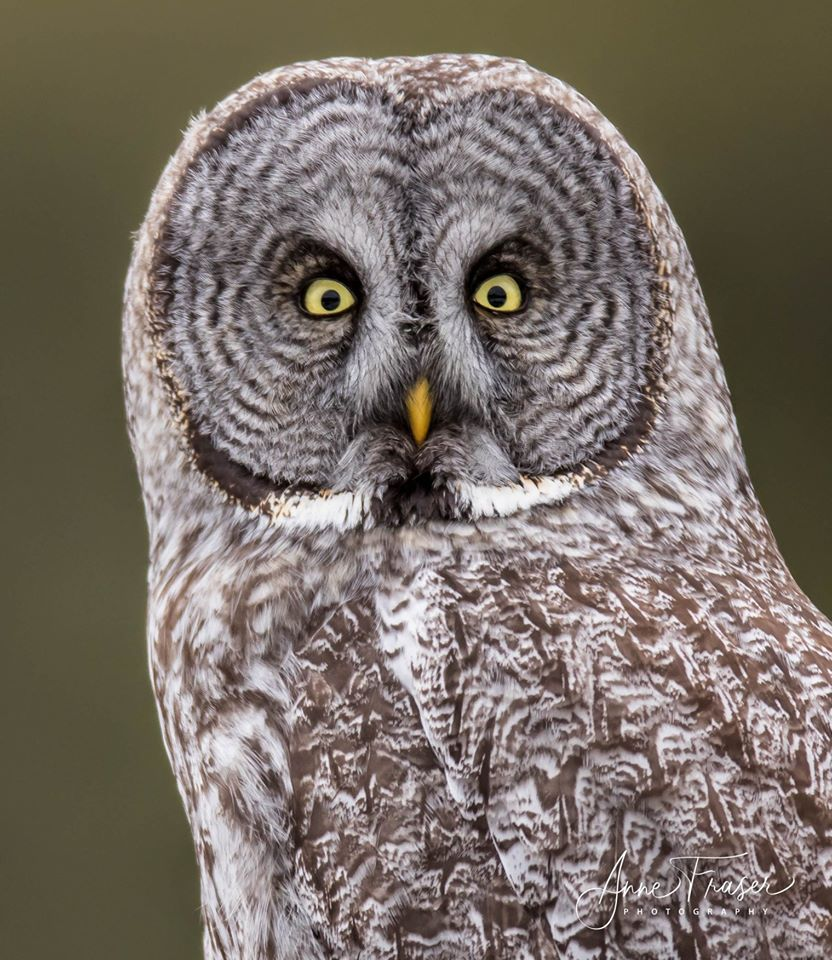 Great Gray Owl by Anne Fraser