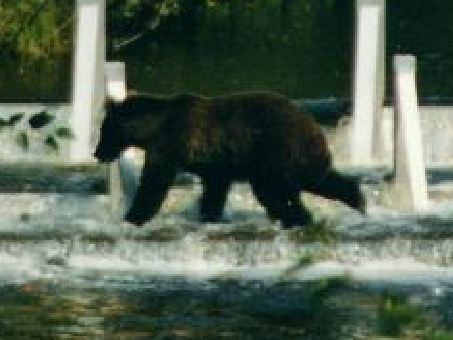 Grizzly at salmon counting gate in B.C. 98